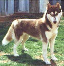 Foto Anjing Siberian Husky Light Red