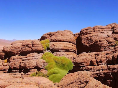 tanaman usia ribuan tahun-7