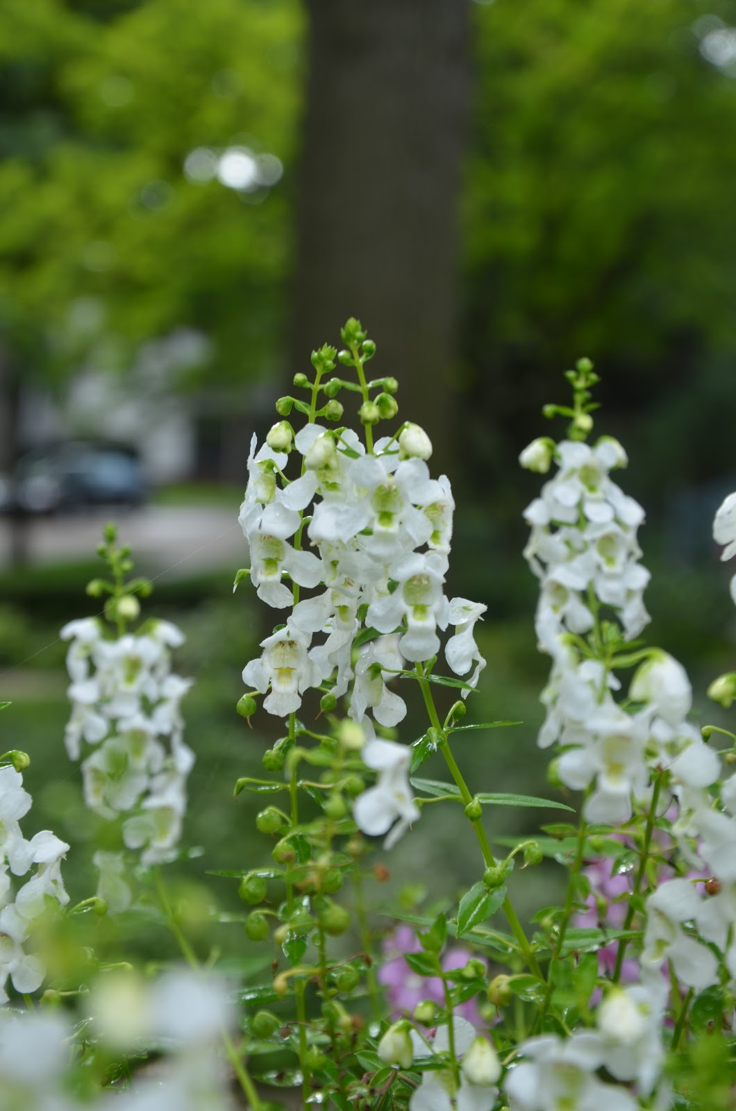 Zone Five And A Half White Flowers White Garden Purely Neutral