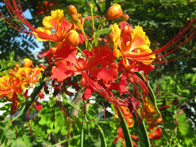 Turks and Caicos red and yellow flower by garden muses: a Toronto gardening blog