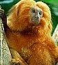 Associação Mico Leão Dourado