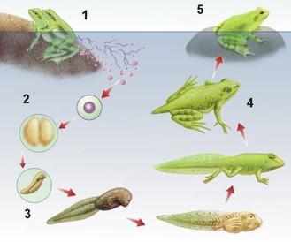 Jeferson y nohelia tipos de reproducci n sexual en for La reproduccion de los peces