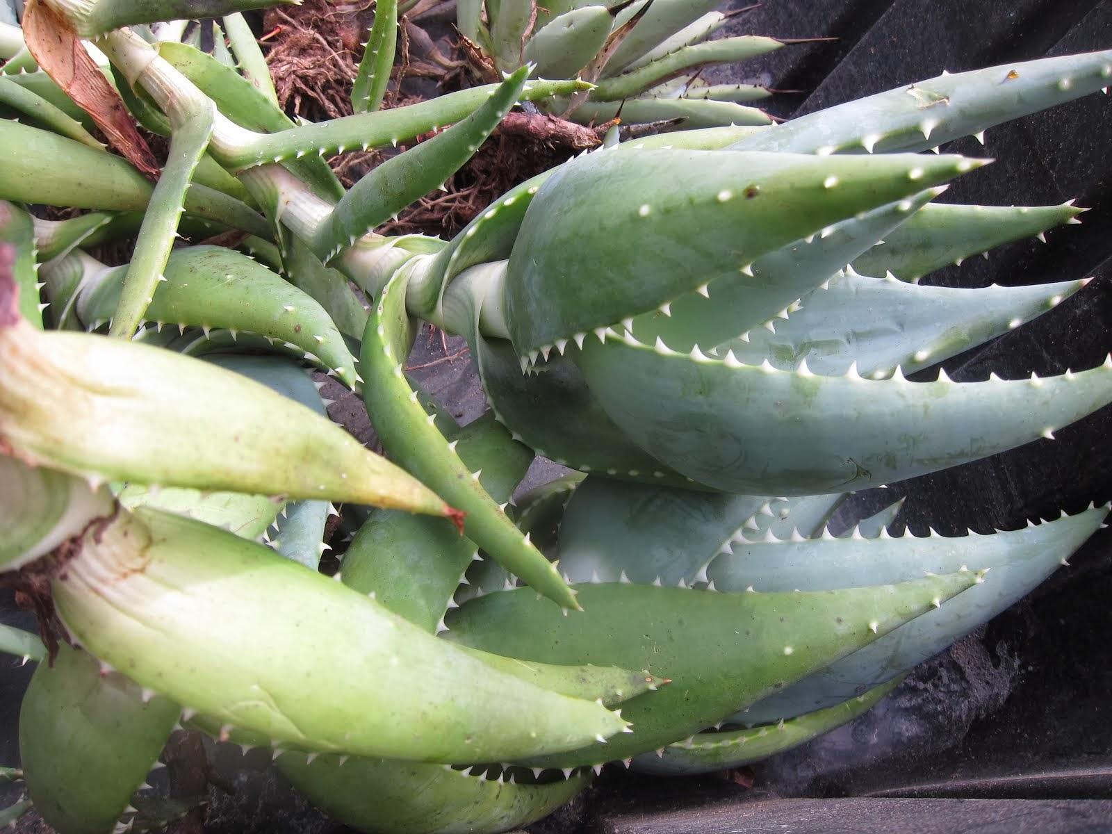 Aloe comptonii