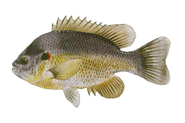 lepomis microlophus aka shellcracker or redear sunfish i gave a call ...