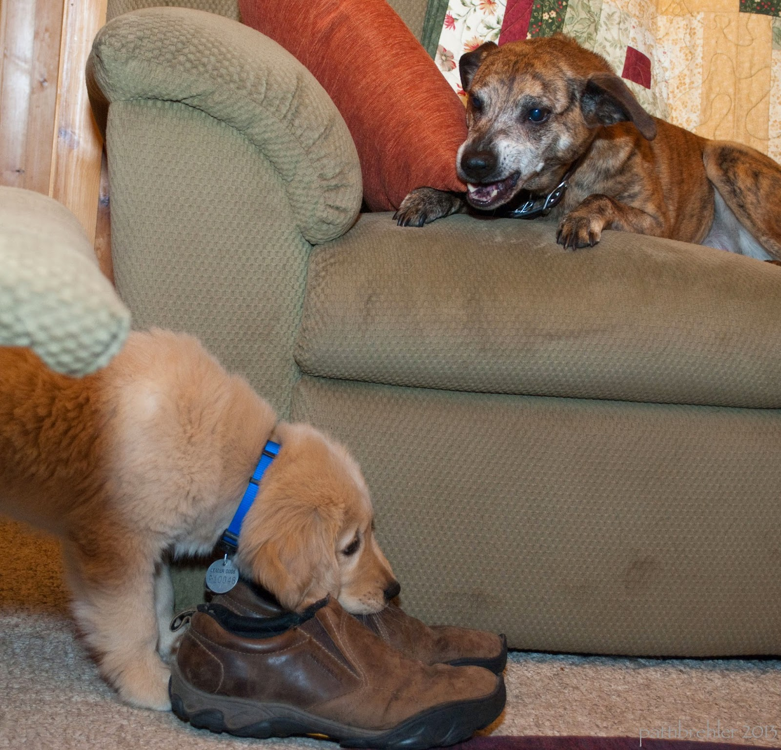 An older brindle coated 40 pound dog is lying on a green couch with an orange pillow. The dog's muzzle is gray and she is snarling at a small fuzzy golden retriever puppy who is on the floor about to chew a brown shoe. The puppy is wearing a blue collar and a round tag.