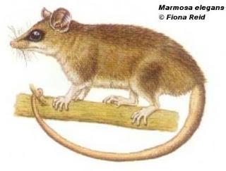 marmosa elegante Marmosa  Thylamys elegans