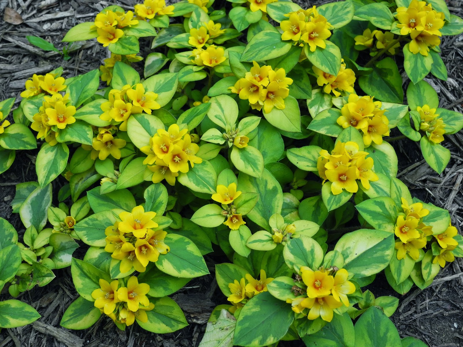 The phytophactor friday fabulous flower a yellow loosestrife a sort of rock garden area between a path and the margin of our lily pond was screaming for some color without a whole lot of thought or knowledge mightylinksfo