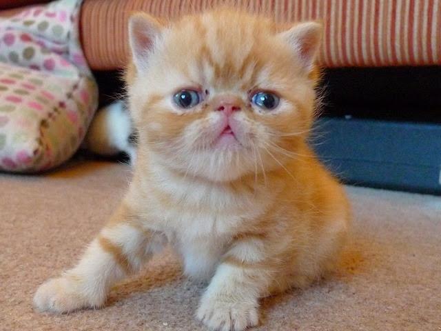 Photo exotic shorthair bébé