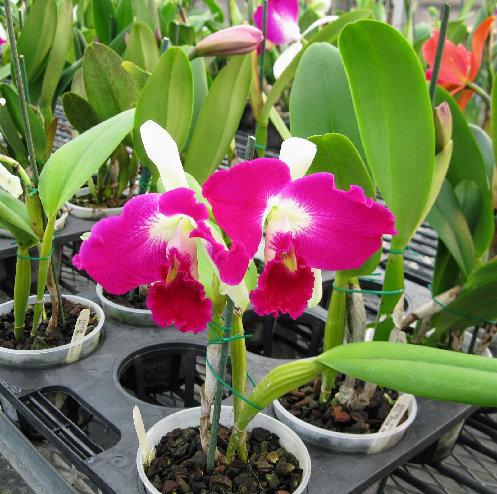 Cattleya orchid flowers - orchid name unknown