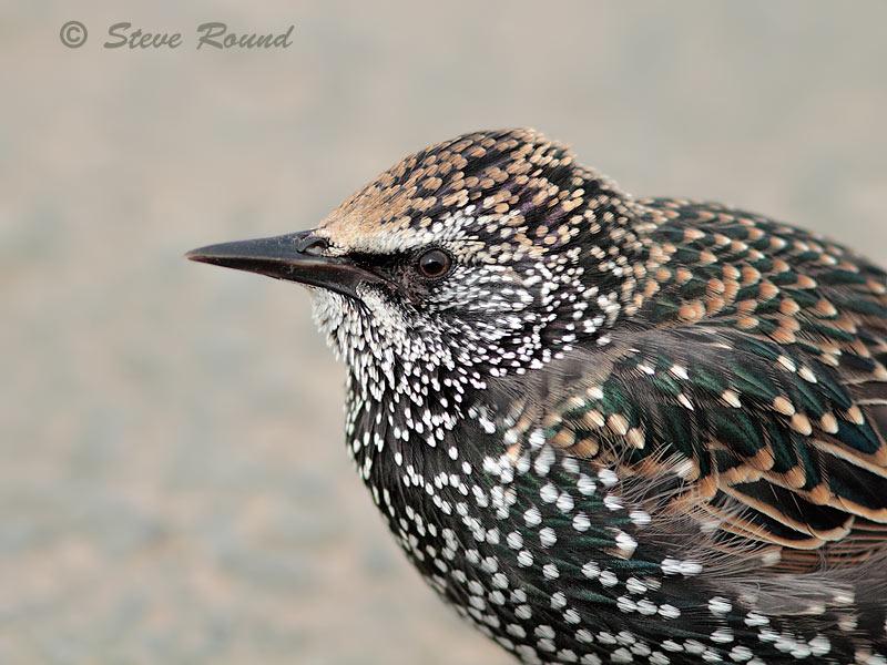 bird, Starling