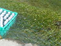 梅花藻の清流が流れる中、ラムネやトマトも冷やしていた