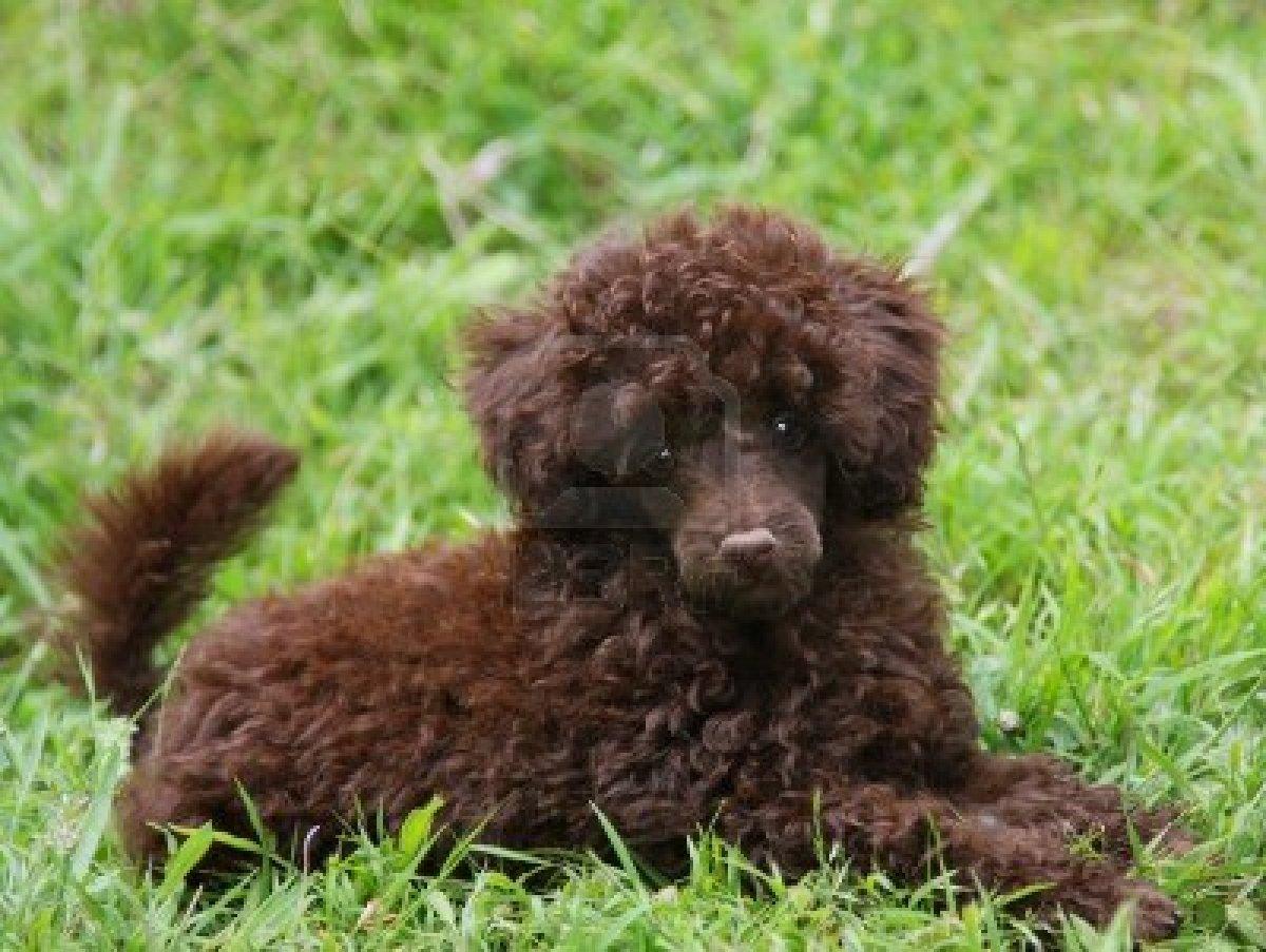 chocolate brown teacup poodle wwwimgkidcom the image