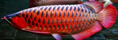 Harga Ikan Arwana Dan Jenis Ikan Arwana
