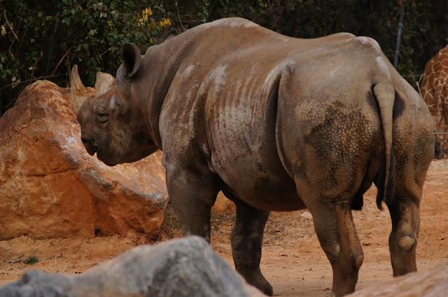 copyright free picture rhinoceros