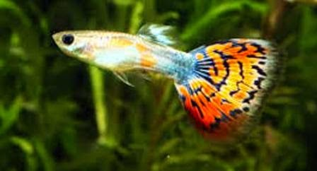 Unique Freshwater Pet Fish The guppy as cool freshwater fish pets ...