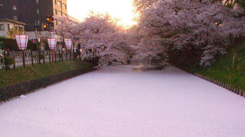 Imagen del día: Mar de pétalos de flores de cerezo