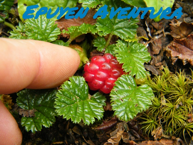 Frutas finas - Patagonia Andina