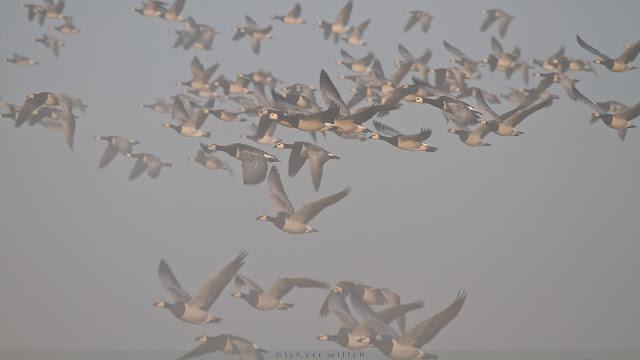Brandgans - Barnacle Goose - Branta Leucopsis