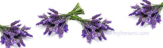 cara menanam bunga lavender, bunga lavender