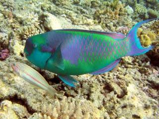 Ikan hias Rainbow Parrot Fish