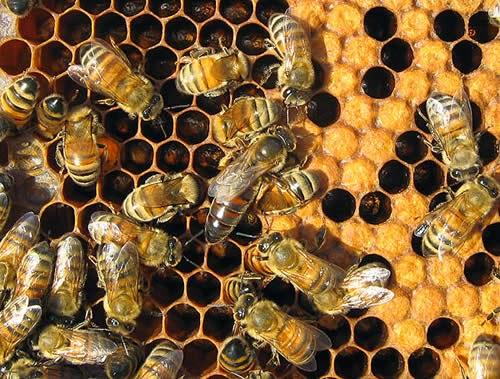 Can spider venom save honeybees?