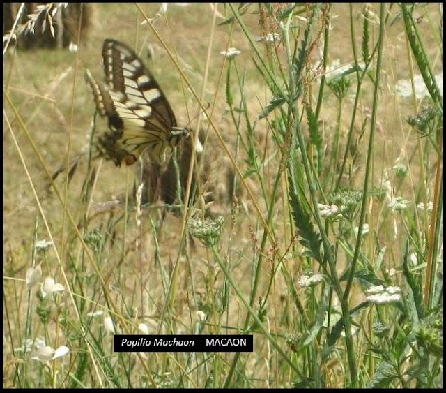 Papilio Machaon - Macaon
