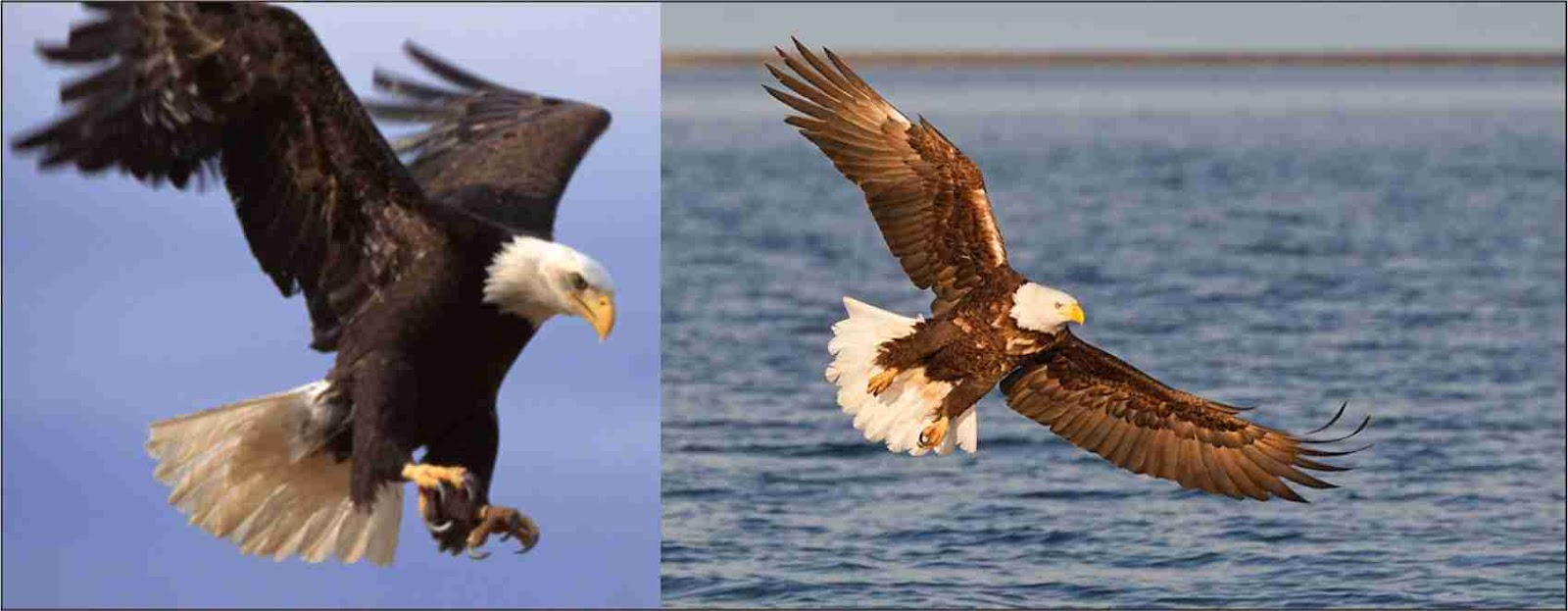bald eagle pictures