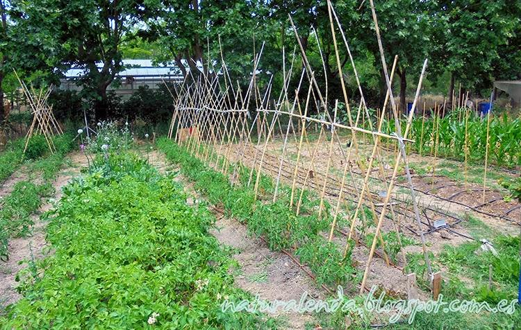 cañas para las tomateras