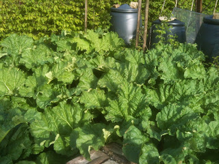 How plant, lift, divide and grow rhubarb.