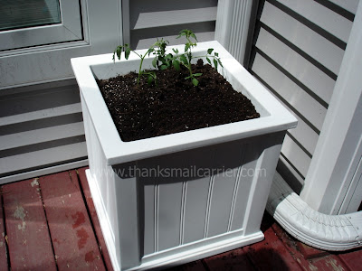 tomato plants planter