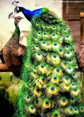 Peacock in nawabganj bird sanctuary
