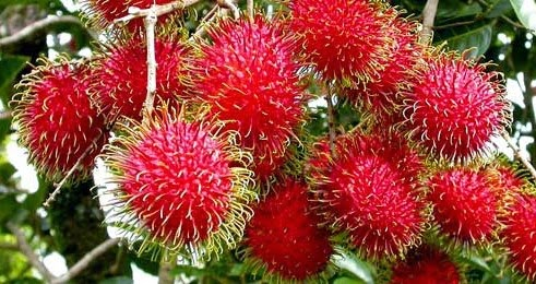 manfaat dan khasiat buah rambutan