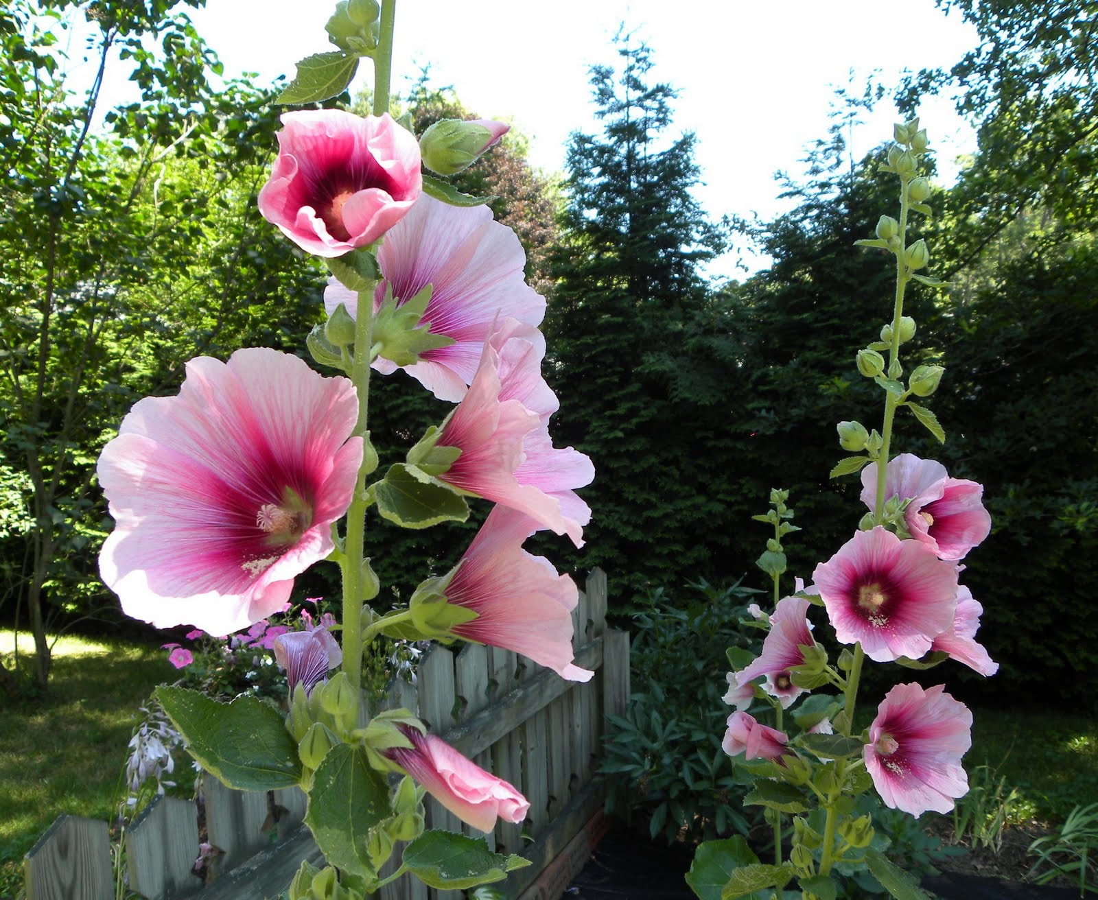 The pink rose cottage hollyhocks for Rose cottage