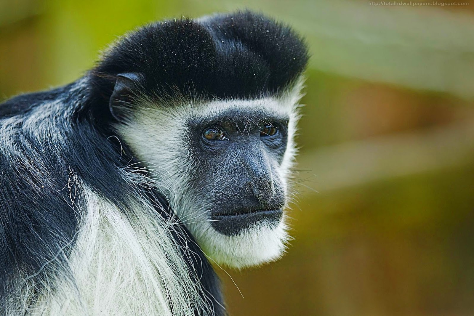 Black And White Colobus Monkey Hd Wallpapers I