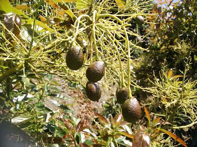 Avocados auf der Finca