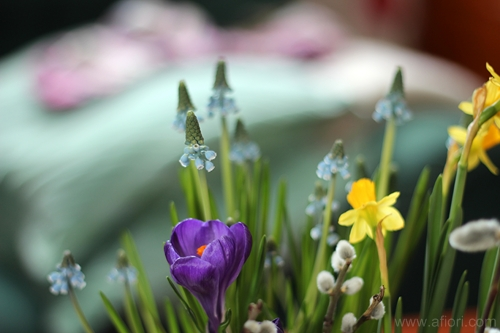 crocus, flowers, krokus, photo by Maria-Thérèse Sommar