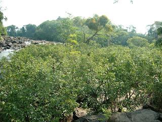 Camu-camu em regiões ribeirinhas