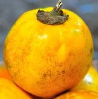 terong ngor atau terung kuning
