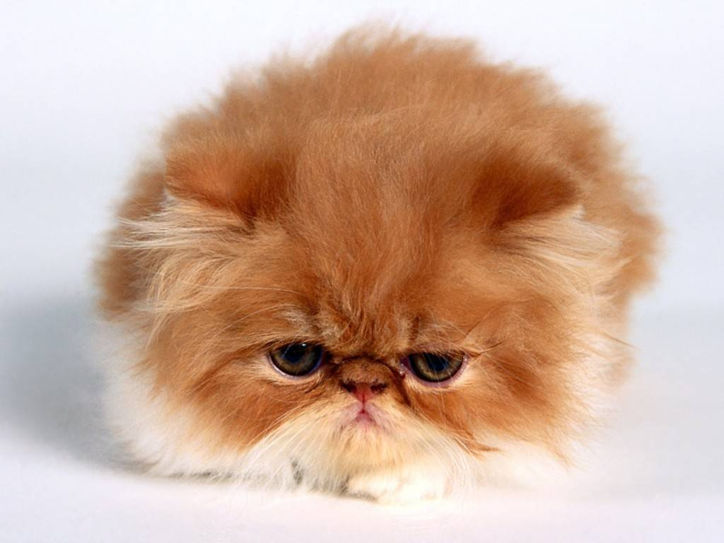 http://4.bp.blogspot.com/-28aVjVlo8YM/Th1bOdQBQPI/AAAAAAAAMtw/Jv6JRYdu98E/s1600/animal-wallpapers-Persian_Cat-Wallpaper.jpg
