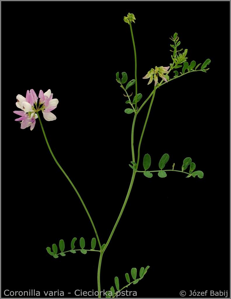 Coronilla varia Growth Habit  - Cieciorka pstra  pokrój