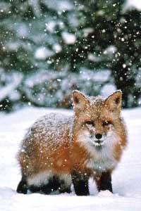 Волк и лиса спящая под боком в хорошем качестве 720 фотоография