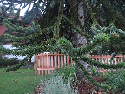 Monkey puzzle tree with undulating green branches that look like an oversized sedum
