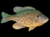 Redear Sunfish Pictures