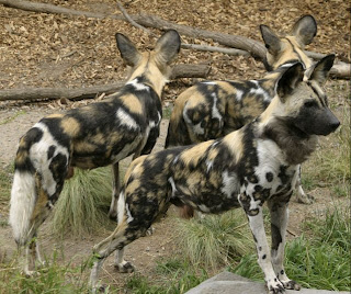 african painted dogs waiting for victim