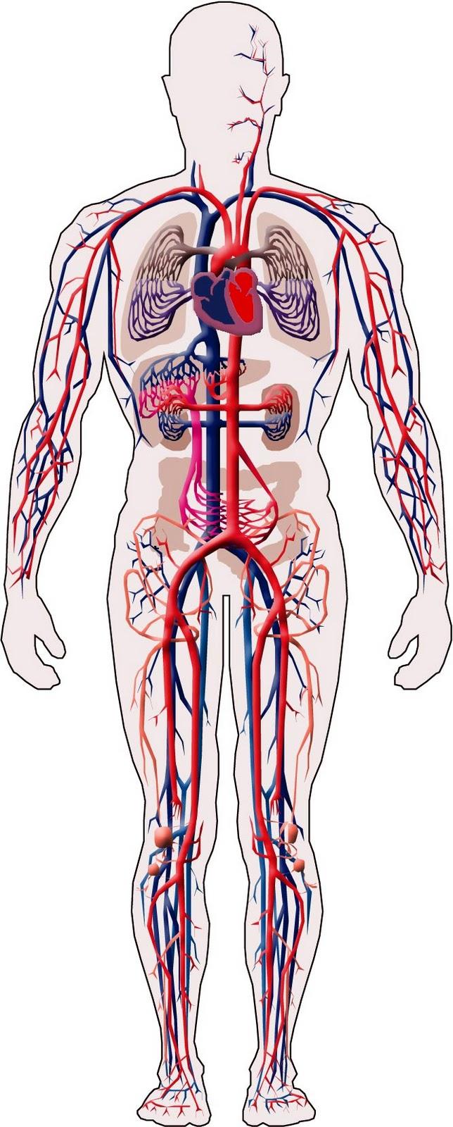 Sistema Circulatorio: Conceptos generales