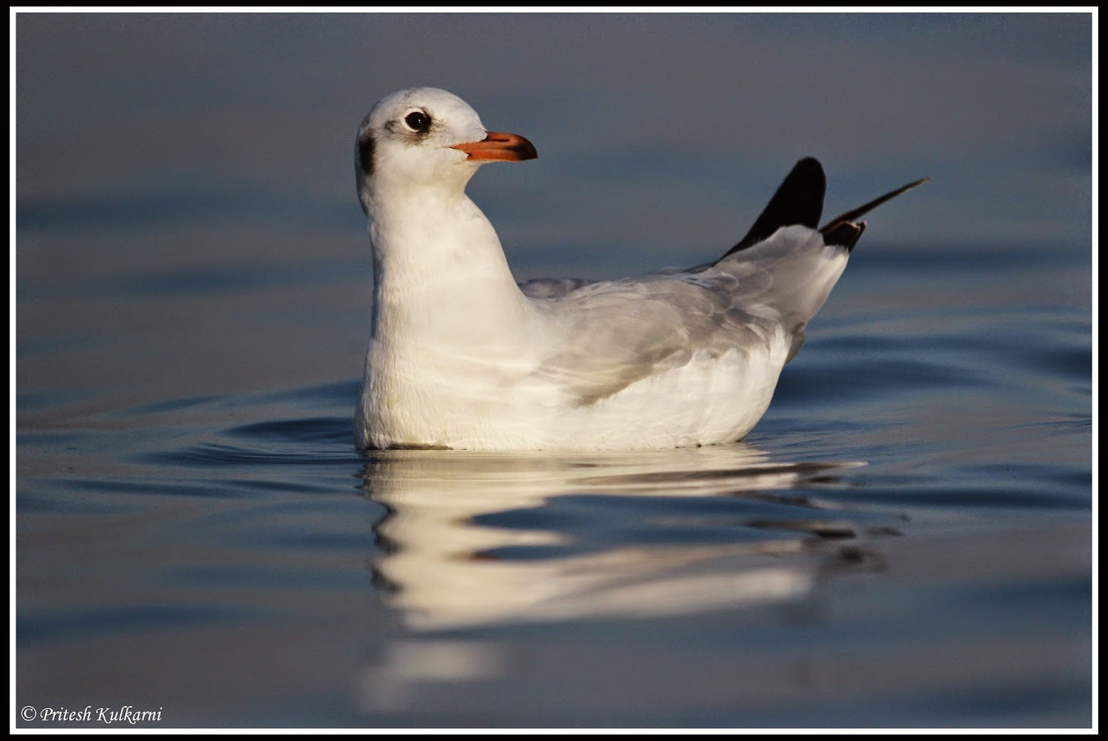 Sea gull at Bhigwan