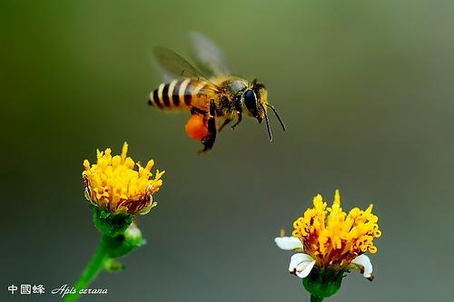 foto lebah - gambar hewan