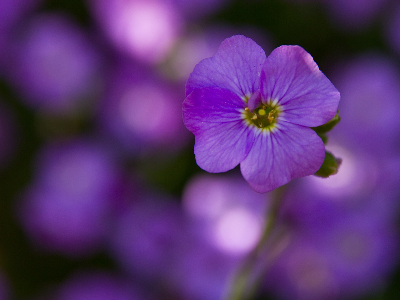Images Of Small Purple Flowers