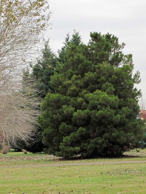 En el jardin julio 2013 for Tipos de pinos para jardin