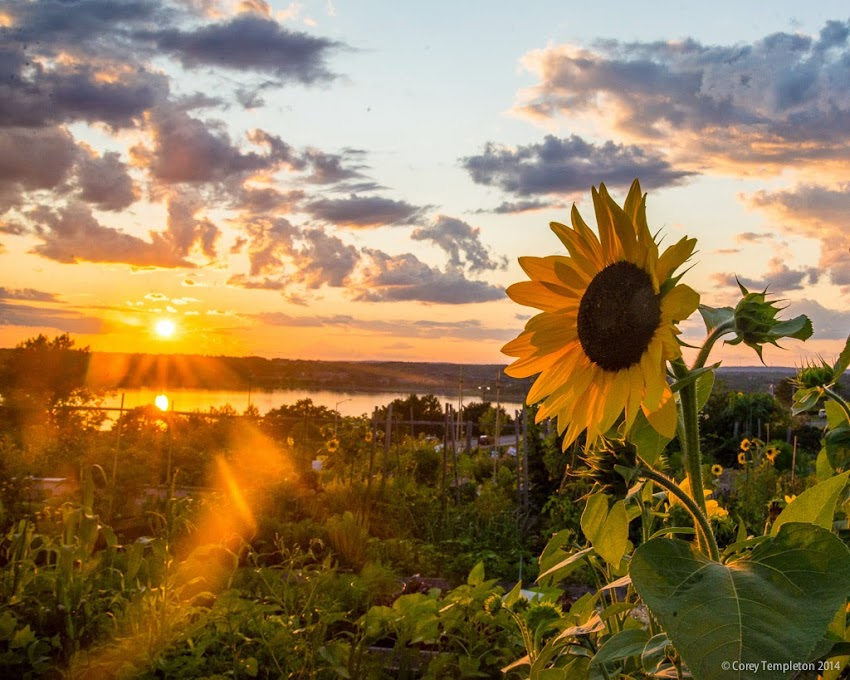 Portland, Maine August 2014 summer sunflower on Munjoy HIll at sunset photo by Corey Templeton